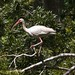 Small photo of American White Ibis