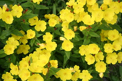 mustard(0.0), lantana camara(0.0), annual plant(1.0), shrub(1.0), flower(1.0), large-flowered evening primrose (1.0), yellow(1.0), plant(1.0), herb(1.0), flora(1.0), herbaceous plant(1.0),