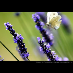 A farfalle
