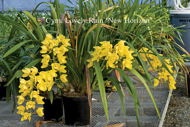 Cymbidium Lovely Rain 'New Horizon'