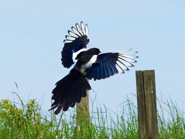 Magpie landing - photo#23