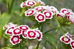 carnation, annual plant, flower, plant, herb, flora,