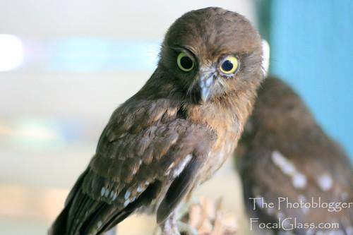 Philippine Hawk Owl (Ninox philippensis) | Wildlife ...