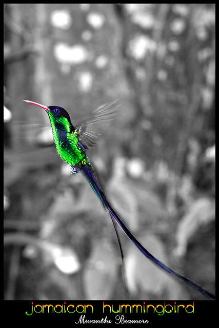 jamaica hummingbird flickr photo sharing. Black Bedroom Furniture Sets. Home Design Ideas