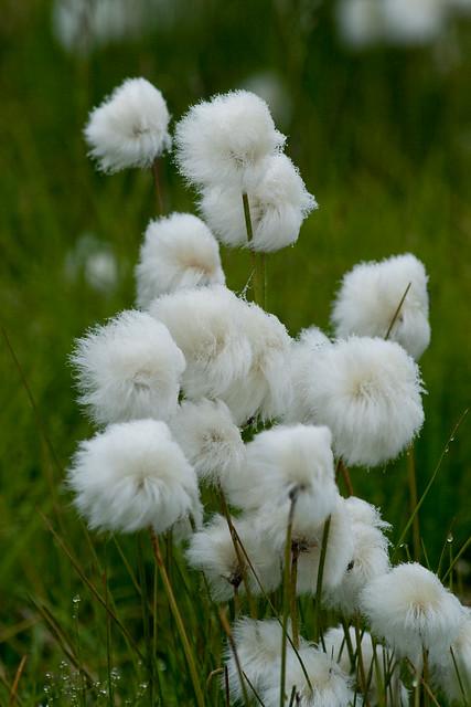 Arctic Cotton Grass   ...
