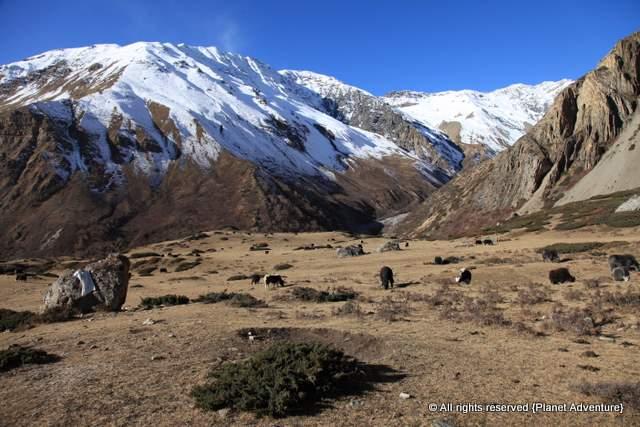 Yaks - Annapurna Circuit Trek - Nepal