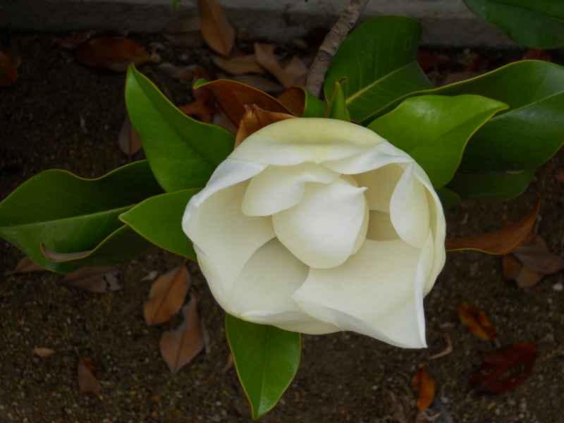 Magnolia spp. flor 2