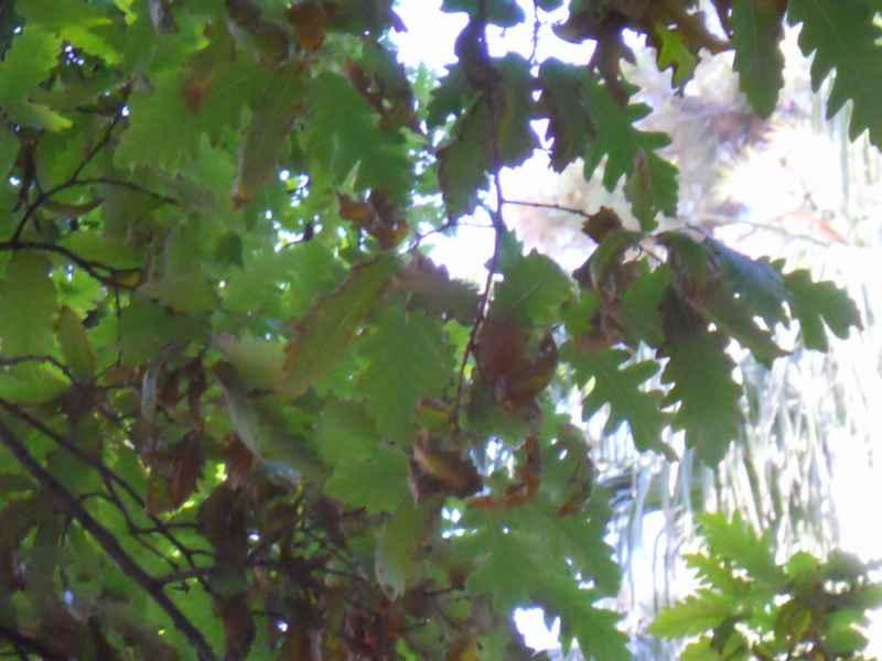Quercus cerris detalle hojas 3