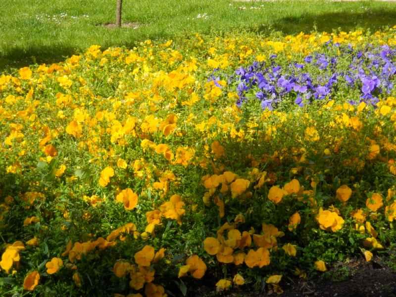 Viola morada y amarilla 5