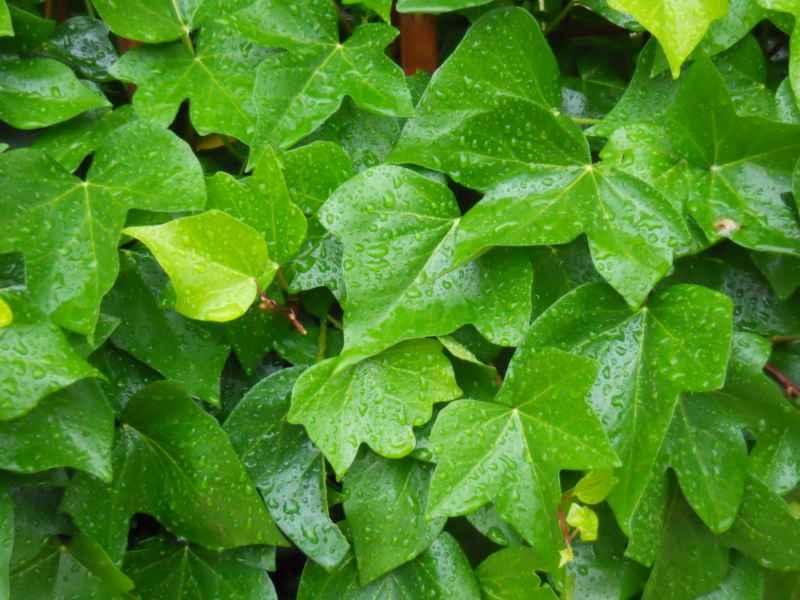 Hedera spp. hojas 4