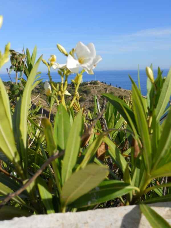 Nerium oleander 'Mont Blanc' v 1