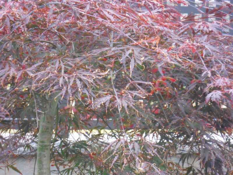 Acer palmatum.. 2