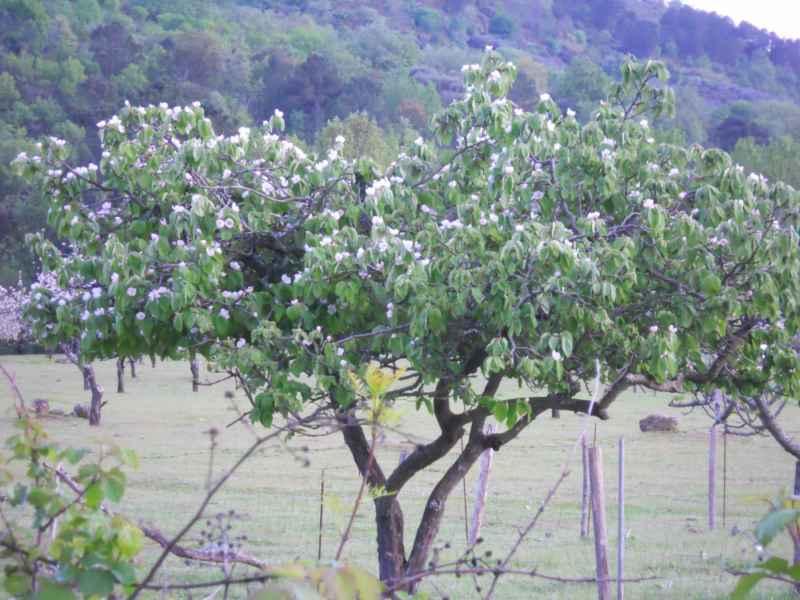 Prunus armenica 1
