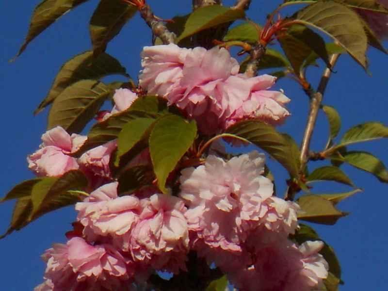 Prunus serrulata 'Kwanzan' 4