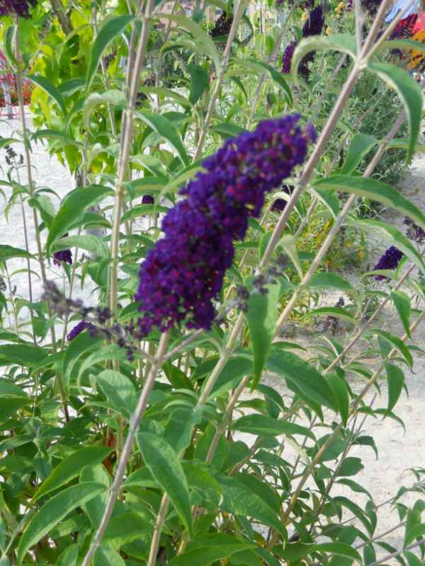 Buddleja davidii 'Black Knight' v 3