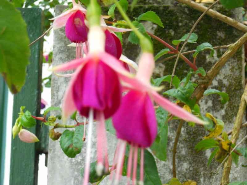 Fuchsia 'Cascade' 2