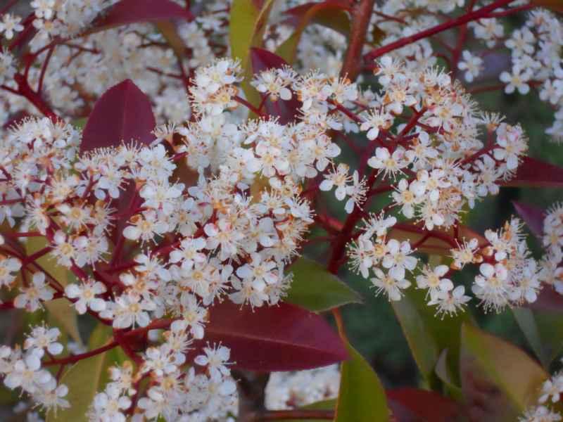 Photinia glabra detalle flor 5