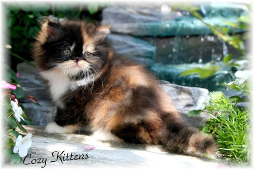 Persian Kittens, Sue Johnson, Himalayan Kittens, Cattery of Excellence