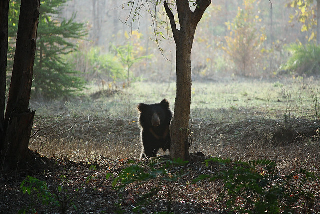 Sloth bear [Canon 1000D XS 55 250 IS]