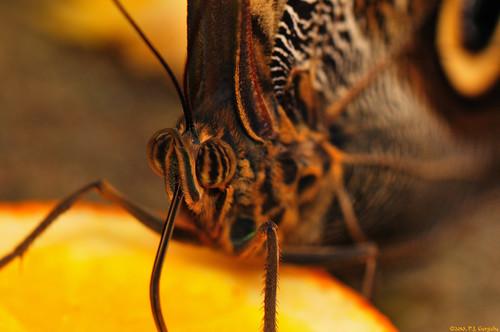 canada macro geotagged butterflies insects newbrunswick moncton grouptags allrightsreserved©drgnmastrpjg rawjpg geo:lon=64889564 geo:lat=46134618 ©pjgergelyallrightsreserved