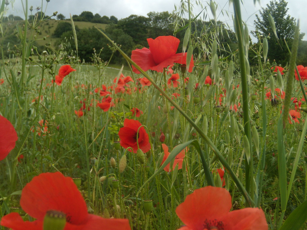 Poppies Hassocks to Lewes