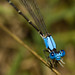 Damselflies - Photo (c) Michael  Bok, some rights reserved (CC BY-NC-SA)
