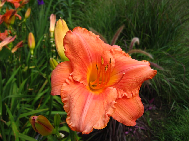 Daylily (Hemerocallis) 'South Seas' blooms in the Monocot Border. Photo by Rebecca Bullene.