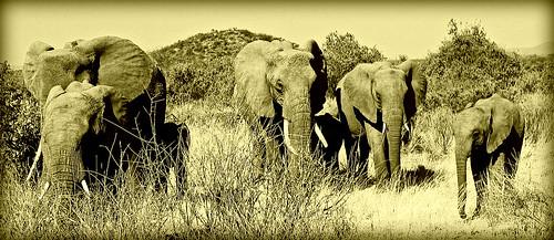 "kenya samburu elephants safari nature wildlife bush magicunicornverybest dragondaggerphoto coth itsawonderfulworld theunforgettablepictures trolledproud daarklands legacy theworldwelivein ""flickrmix award"" saariysqualitypictures gününeniyisi thebestofday specanimal"