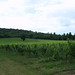 Denbies Vineyard by normanslater