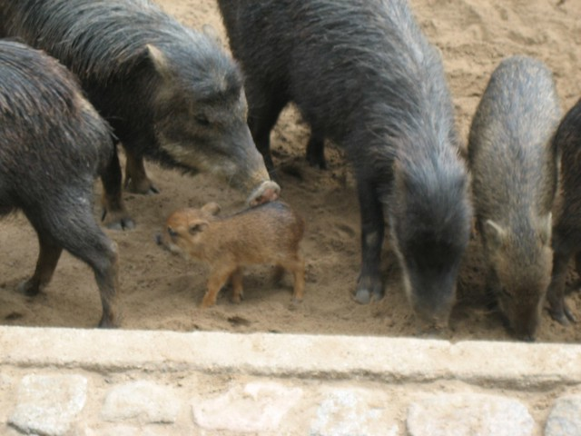 Boars and Piglets