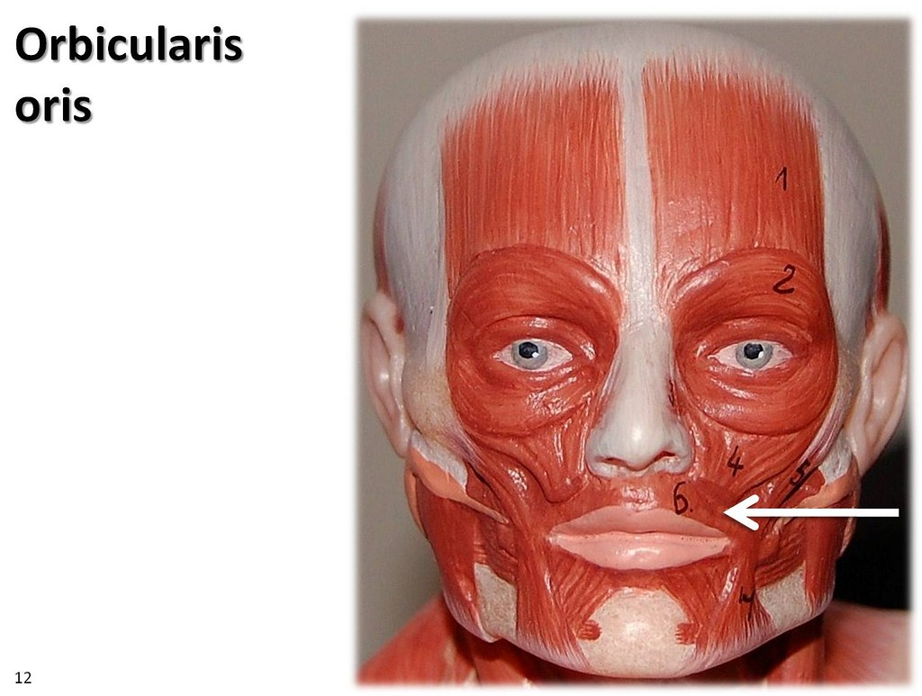 Orbicularis Oris Small Model Muscles Of The Upper Extre Flickr