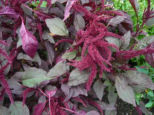 Amaranth purpurea