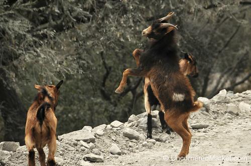 Goats Ramming Horns - Northwestern Argentina