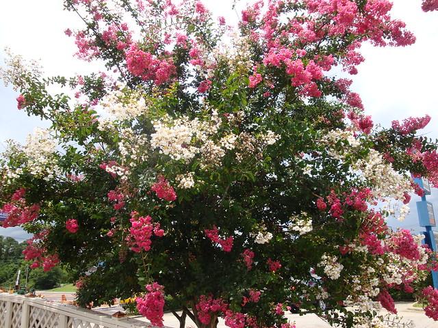 Crepe Myrtle Pensacola Fl Flickr Photo Sharing