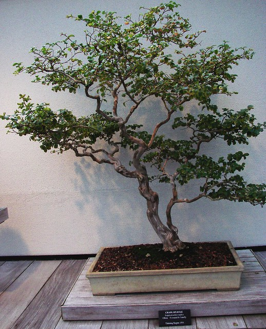 bonsai crape myrtle lagerstroemia indica training began 1944 a photo on flickriver sony cyber shot dsc h2 h5 manual sony cyber shot dsc h2 h5 manual