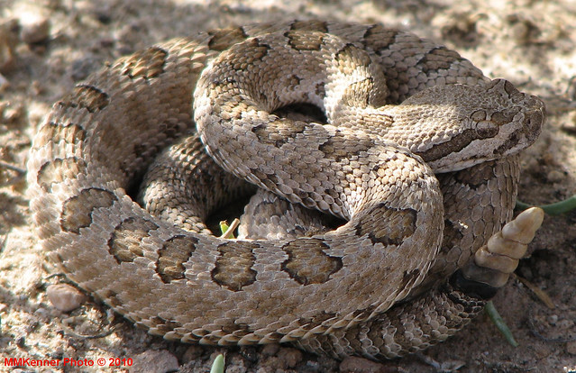 Midget faded rattlesnake colorado