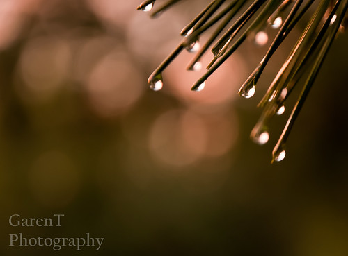 216/365-Evergreen Drops