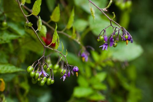 Nightshade flowers