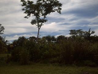 Cedro amazónico en su hábitat, cerca de Iquitos.