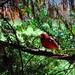 Small photo of Male Cardinal