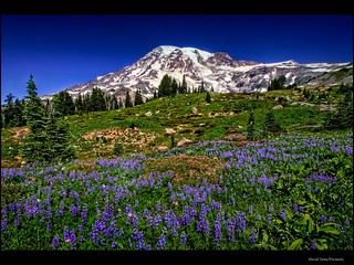 Lupine on Mt Rainier HDR