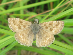 Erynnis tages (Female)