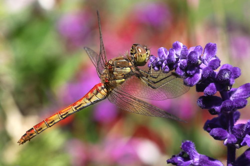 dragonfly in flower-garden