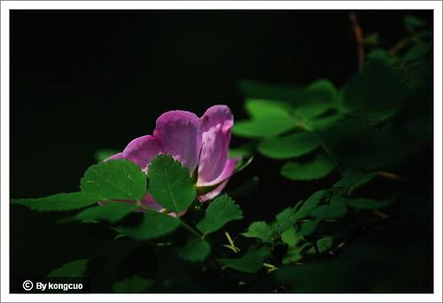 14.蔷薇科蔷薇属刺蔷薇2