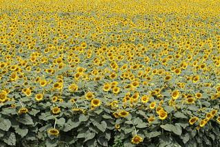 Kiyose Sunflower Field
