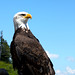 Bald Eagle on Grouse Mountain