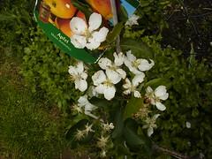 10.05.2010 Ein Apfel entsteht A