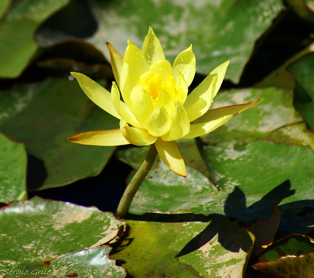 yellow water lily flower - photo #10