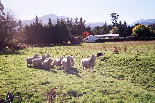 綿羊一隻一隻跳出圍欄,不斷重複的數數行為讓人感到厭倦而誘導入眠。(攝者:uppure)
