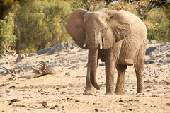 desert_adapted_elephant
